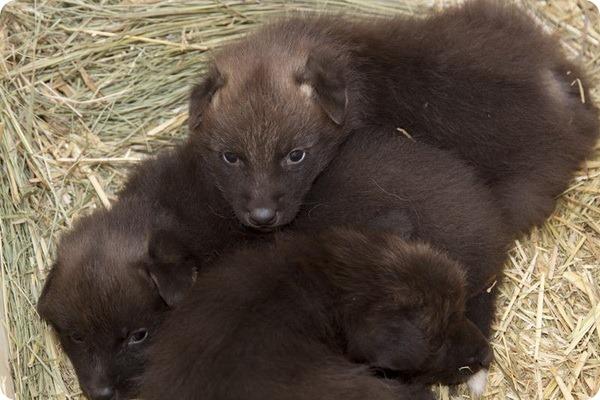Детеныши гривистого волка из зоопарка Денвера