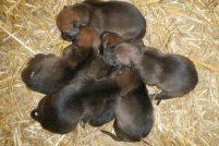 В зоопарке Висконсина родились детеныши рыжего волка