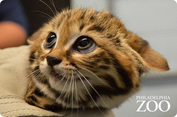 Детеныши черноногой кошки из зоопарка Филадельфии