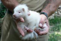 В зоопарке Германии родился скунс-альбинос