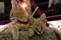 Баку и Клео – сервалы из зоопарка Неаполя