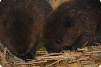 В зоопарке Британии родились детеныши канадского бобра