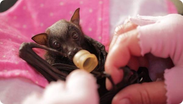 В Австралии спасли детеныша летучей лисицы