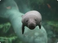 В зоопарке Франции родился детеныш ламантина