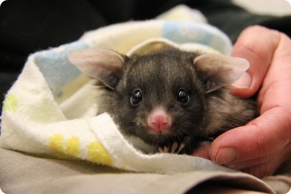 В зоопарке Таронга родился детеныш сумчатой летяги