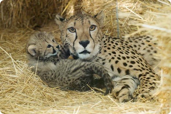 Детеныши гепарда из зоопарка Шёнбрунн