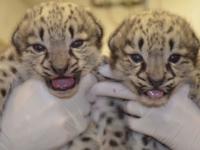 Зоопарк Акрон представил детенышей снежного барса