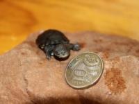 Болотные жабьи черепашата из зоопарка Аделаиды