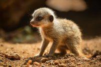 В зоопарке Честера родились детеныши суриката