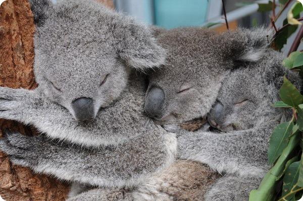 Коалы Сидней, Милли и Такер из зоопарка Таронга