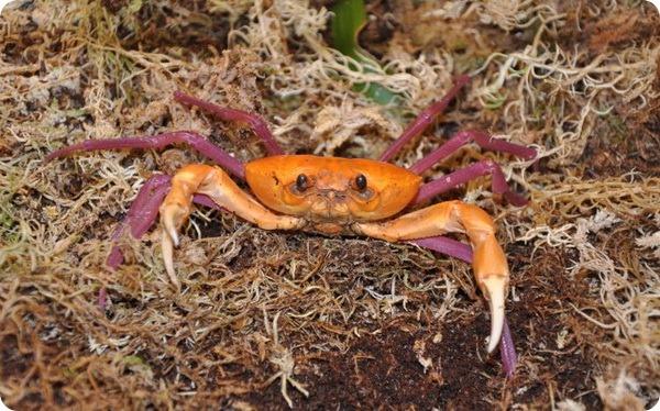 Мадагаскарский пресноводный краб (лат. Madagapotamon humberti)