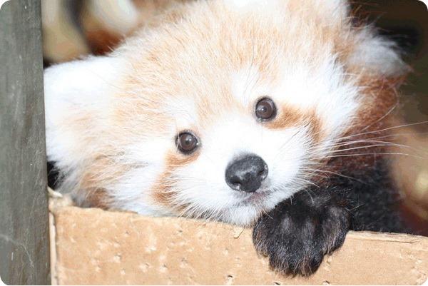 Детеныши красной панды из зоопарка Гамильтон