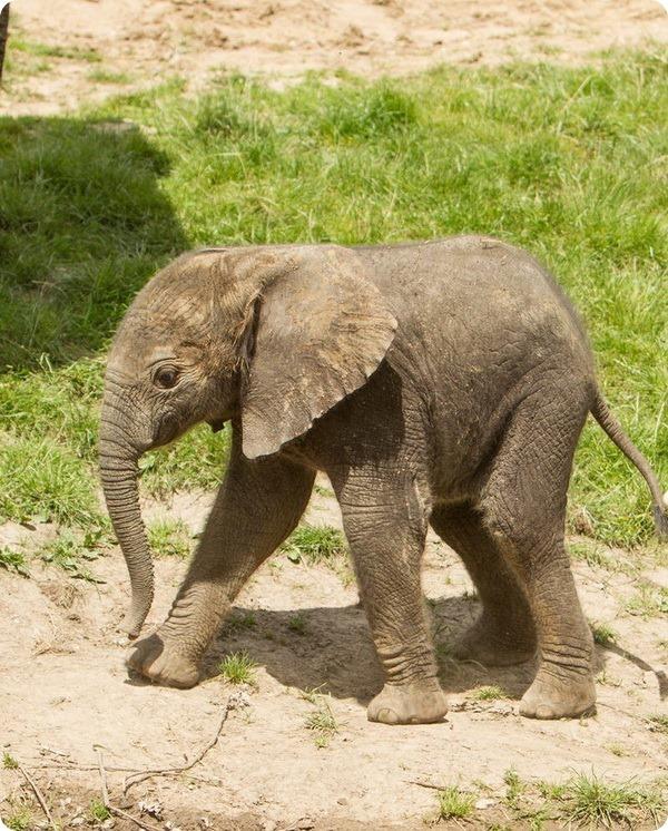 В парке дикой природы Хоулетс родился слоненок
