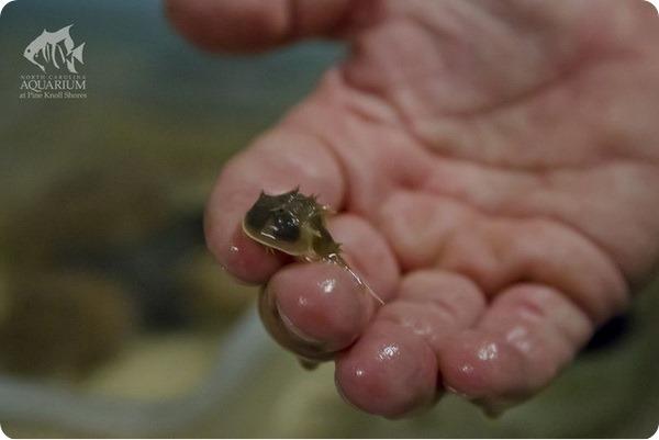 Мечехвосты из аквариума Северной Каролины