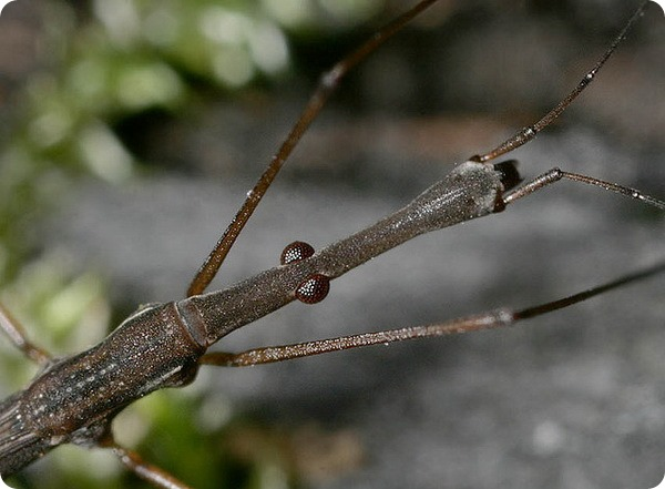 Палочковидная водомерка (лат. Hydrometra stagnorum)