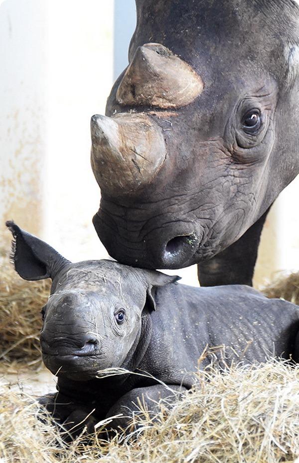 Детеныш черного носорога из зоопарка Майами