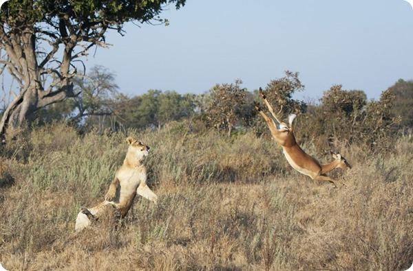 Спасительный прыжок импалы в заповеднике Ботсваны