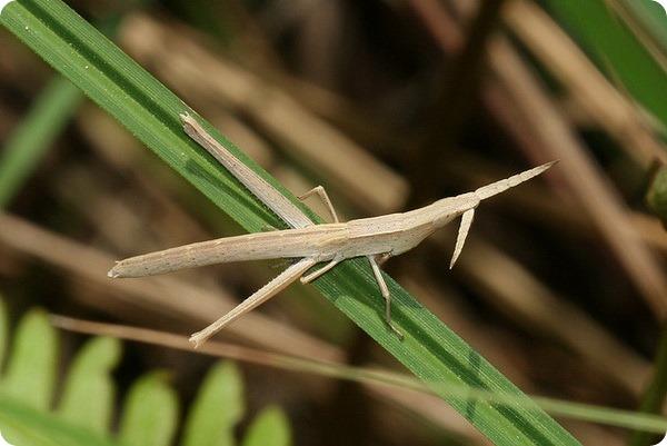 Саранча-зубочистка (лат. Achurum carinatum)