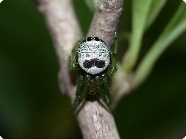 Принглс паучек - Araneus mitificus