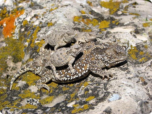 Жабовидные ящерицы вида Phrynosoma hernandesi