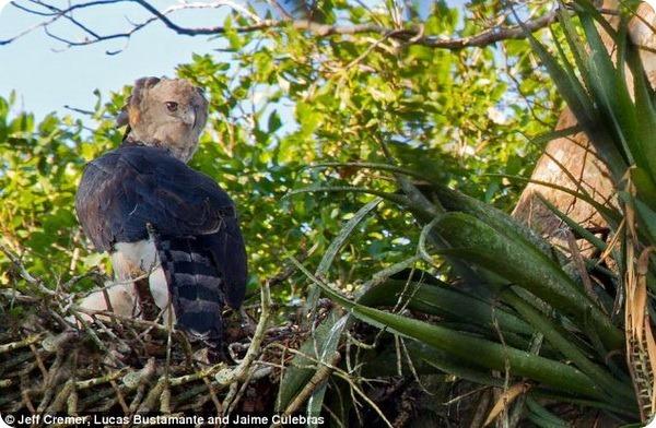 Семья гарпий из тропических лесов Амазонки