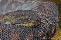 Арафурская бородавчатая змея