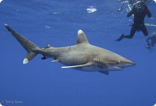 Длиннокрылая акула (лат. Carcharhinus longimanus)