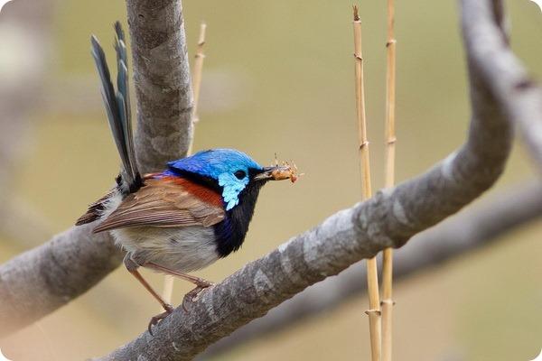 Разноцветный расписной малюр (лат. Malurus lamberti)