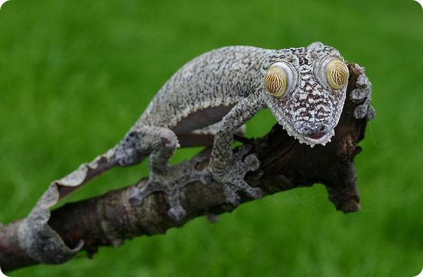 Мадагаскарский плоскохвостый геккон (лат. Uroplatus fimbriatus)