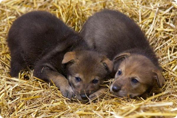 Зоопарк Бердсли представил детенышей рыжего волка