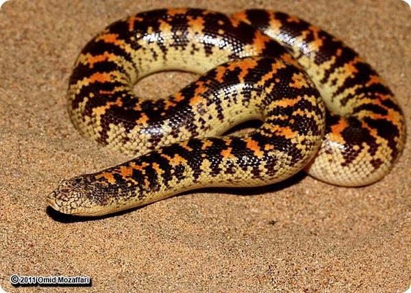 Арабский песчаный удавчик (лат. Eryx jayakari)