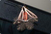 Секрет бабочек из рода Creatonotos