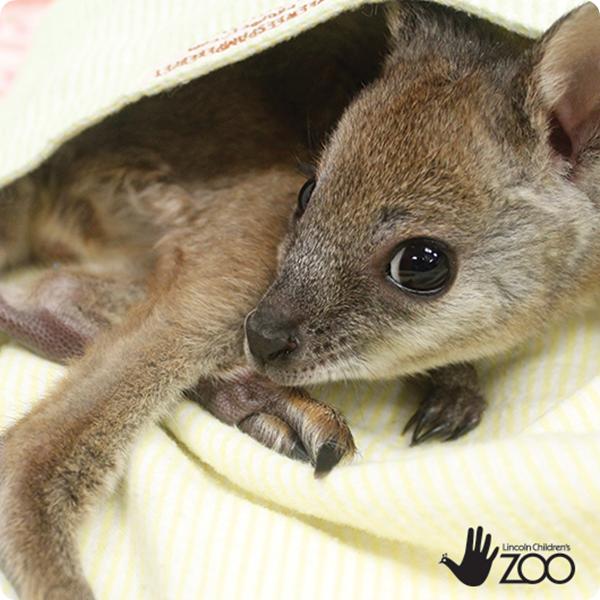 Детеныш кенгуру Евгении из зоопарка Линкольна