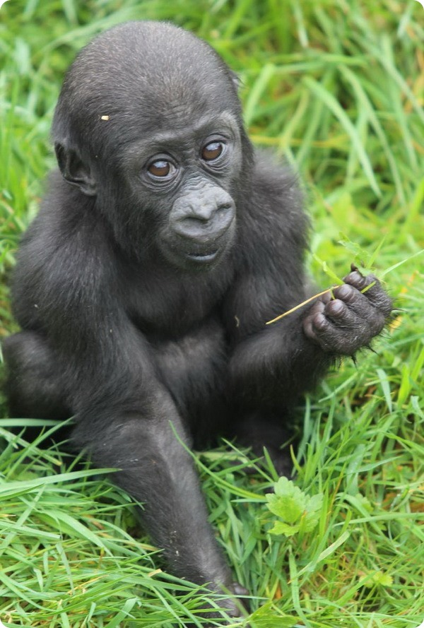 В зоопарке Белфаста родился детеныш гориллы