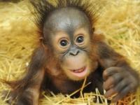 Детеныш орангутанга обрел свой дом в зоопарке Брукфилда