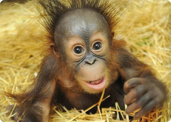Детеныш орангутанга обрел свой дом в зоопарке Брукфилда - ZooPicture.ru