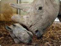 Зоопарк Бюргерса представил детеныша белого носорога
