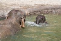 Азиатский слоненок Лили наслаждается купанием
