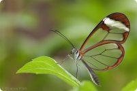 Грета Ото или стеклянная бабочка