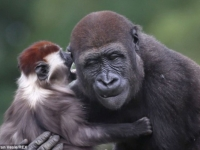 Мангобей и горилла стали лучшими друзьями