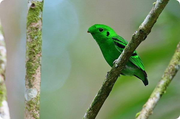 Малый зеленый рогоклюв (лат. Calyptomena viridis)