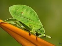 Кузнечик-листок