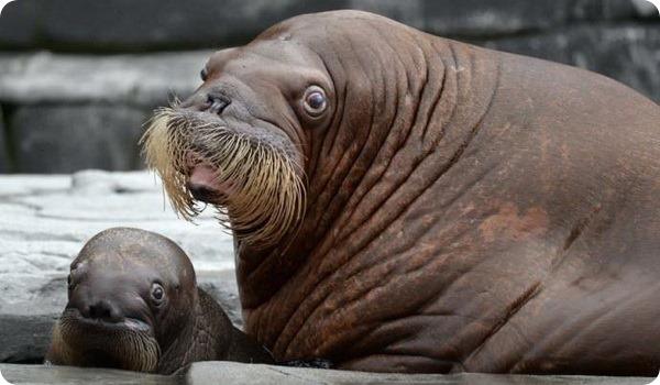 В немецком зоопарке на свет появился детеныш моржа