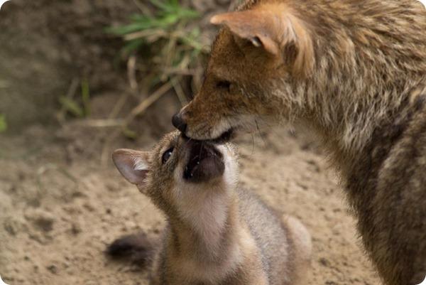 В зоопарке NaturZoo в Рейне родились детеныши шакала