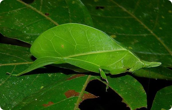 Кузнечик-листок (лат. Aegimia elongata)
