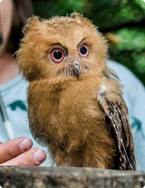 Зоопарк Праги представил птенца филиппинской совки