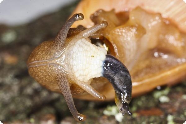 Улитка-волк или Улитка-каннибал (лат.Euglandina rosea)
