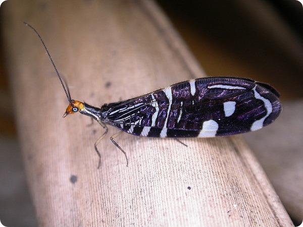 Осмилиды (лат.Osmylidae)