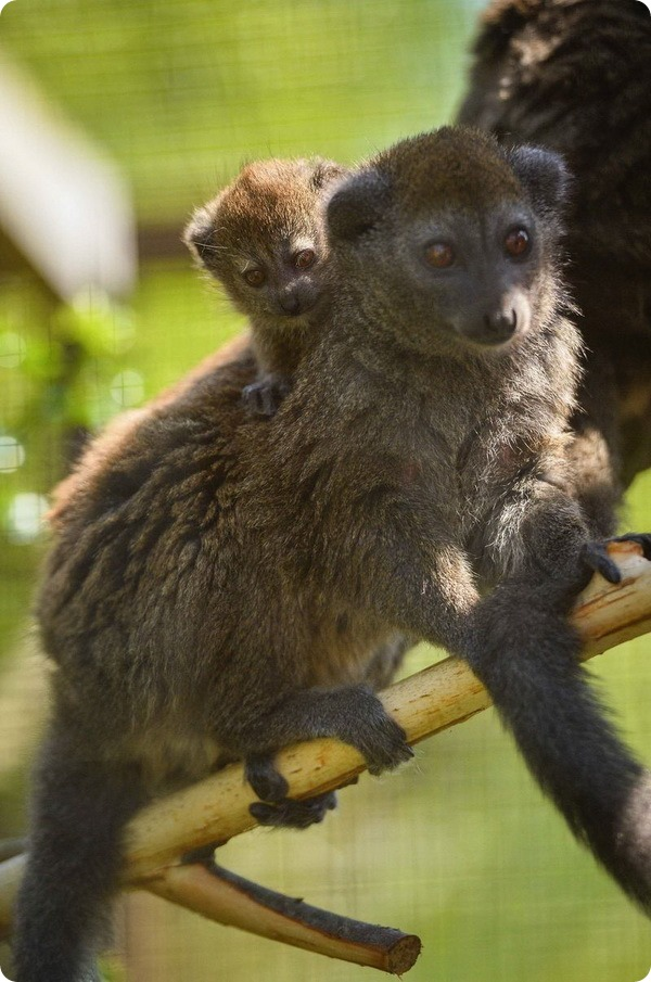 Зоопарк Честера представил детеныша гапалемура