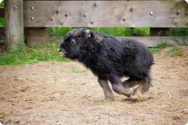 Парк дикой природы Хайленд представил детеныша овцебыка